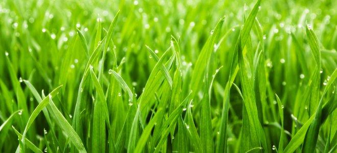 staroslivosť o trávnik