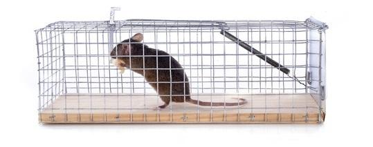 živá pasca na myši
